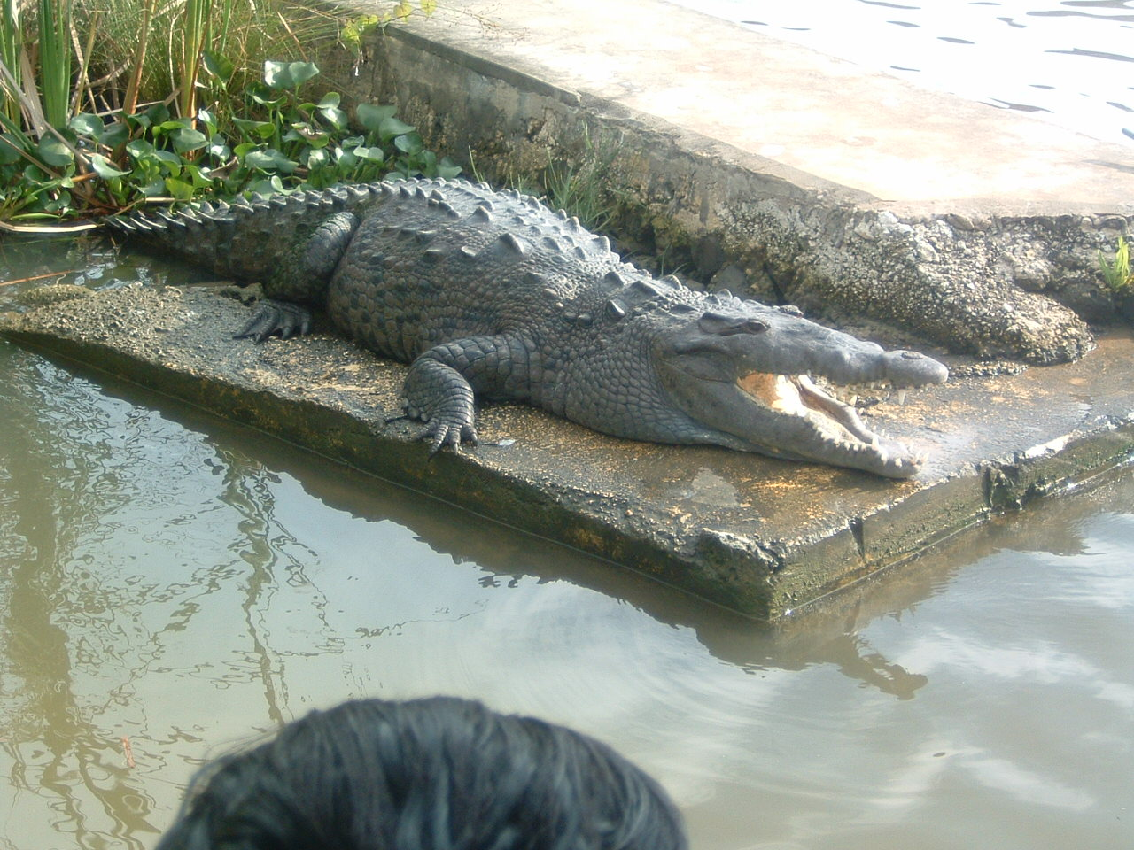 Crocodile sun bathing
